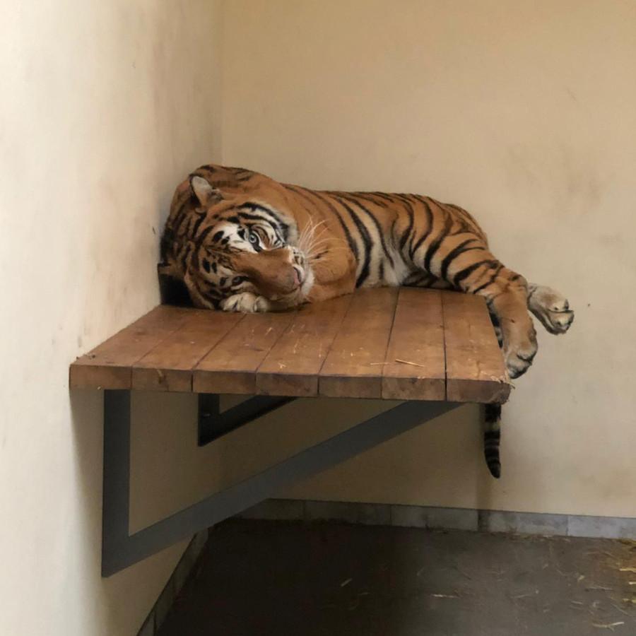 De tijgers werden onder verschrikkelijke omstandigheden van Italie naar Rusland vervoerd.