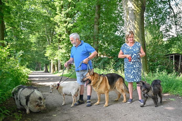 Op wandel met een beestrijk gezelschap. Hangbuikzwijn Knor, schaap Liesje, Duitse herder Dax en Roemeense straathond Figo