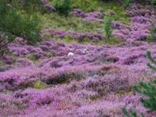 Fraaie paarse heidedeken verbloemt droogteprobleem