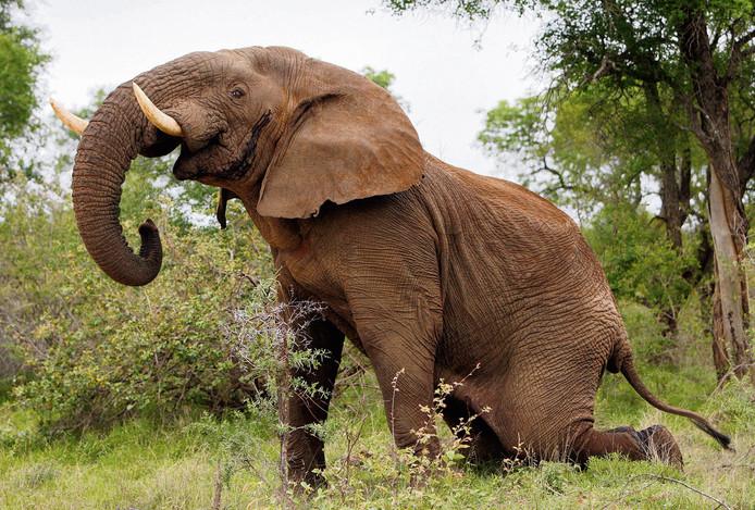 Een jonge mannetjesolifant in het Kruger Park.