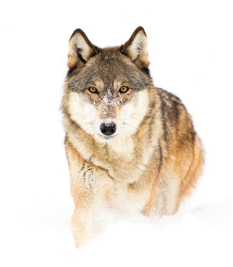 Wolf slaat twee keer in één etmaal toe in Rosmalens weiland: 'Ik zag een schaap dat de lucht werd ingeslingerd'
