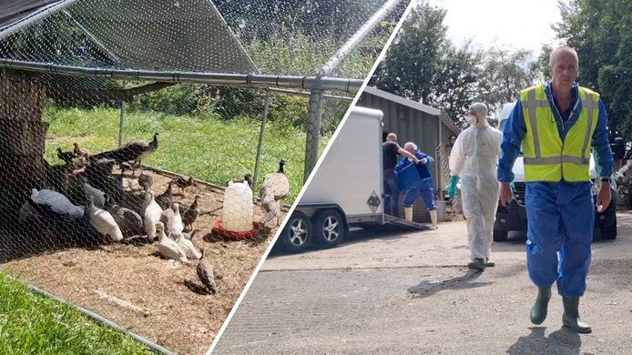 De NVWA begeleidde de ruiming van de dieren op het terrein in Heeten waar vogelgriep was uitgebroken.