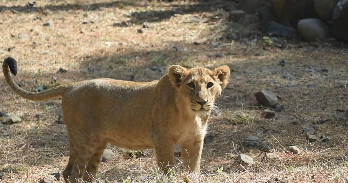 Verzorgster Duitse dierentuin lichtgewond na aanval leeuw | Buitenland | destentor.nl - De Stentor