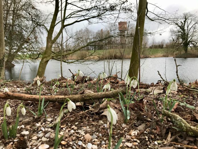 De eerste resultaten van de 'sneeuwklokjestransplantatie' van Nederhemert-Zuid naar het Oranjebolwerk in Zaltbommel zijn zichtbaar.