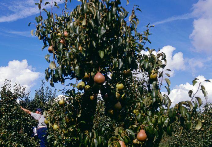 Fruitpluk (archieffoto).