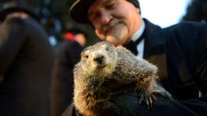 Groundhog Day: Phil de bosmarmot voorspelt nog lange winter voor Amerikanen