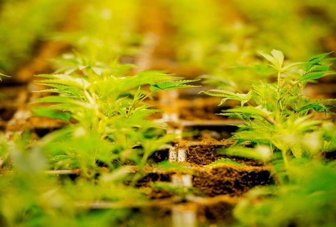 Wietplantjes. Foto ter illustratie.