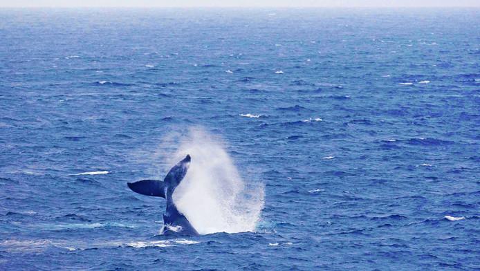Een bultrug walvis slaat met zijn staart in de nabijheid van de Hr. Ms. Evertsen, in de Indische Oceaan in 2009. Foto ter illustratie.