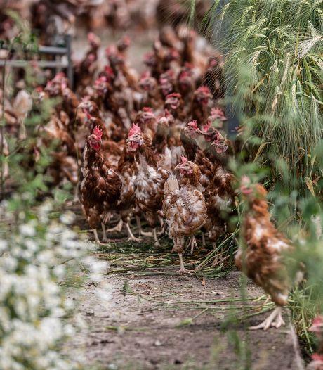 Kippen mogen in nog twee regio's weer naar buiten