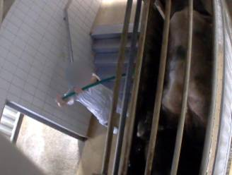 Schokkend: Animal Rights filmt opnieuw zware dierenmishandeling in Belgisch slachthuis