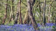 Daar is het paarse sprookjesbos weer, dankzij bloeiende hyacinten
