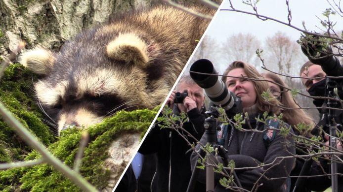 De eerste Vughtse wasbeer is geadopteerd door de Partij voor de Dieren Noord-Brabant.