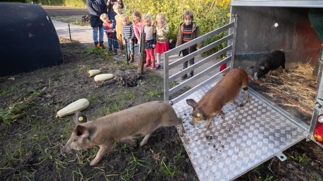 Walhalla voor varkens: lekker wroeten in Baarnse schooltuintjes