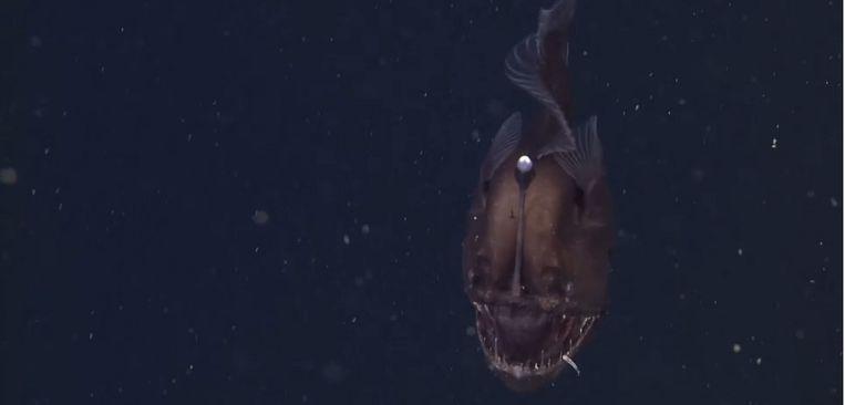 De zwarte hengelaarsvis op een still uit de video van de Amerikaanse wetenschappers. Beeld Youtube