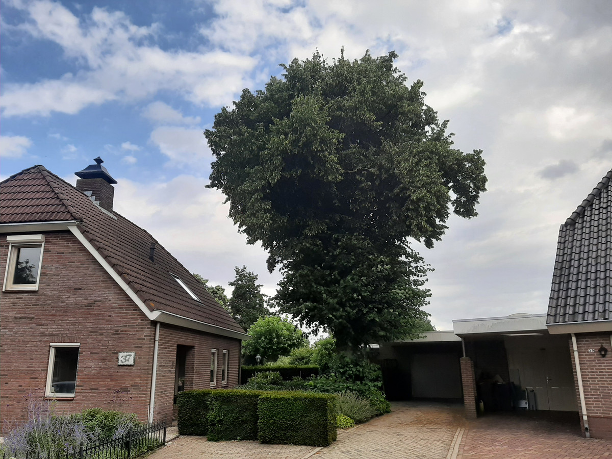 Deze honderdjarige, monumentale lindeboom aan de Berkenboog in Geffen wordt gekapt.