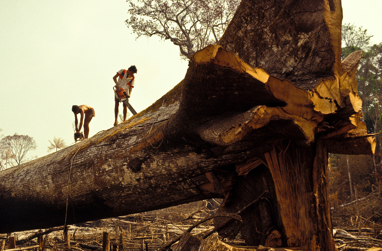 Houthakkers aan het werk in het Braziliaanse Amazonewoud.  Beeld LightRocket via Getty Images