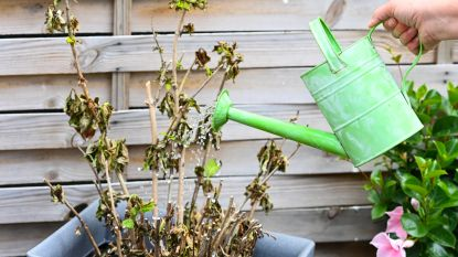 Stad Eeklo besproeit voortaan eigen plantjes met bemalingswater van bouwwerf