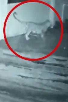 En Inde, un léopard pénètre dans une propriété et repart avec le chien