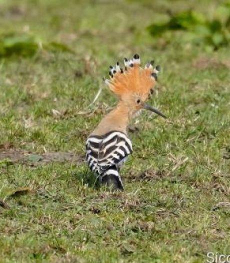 Vogelliefhebbers opgelet! Zeldzame en uit Nederland verdwenen vogel te zien in Waddinxveen