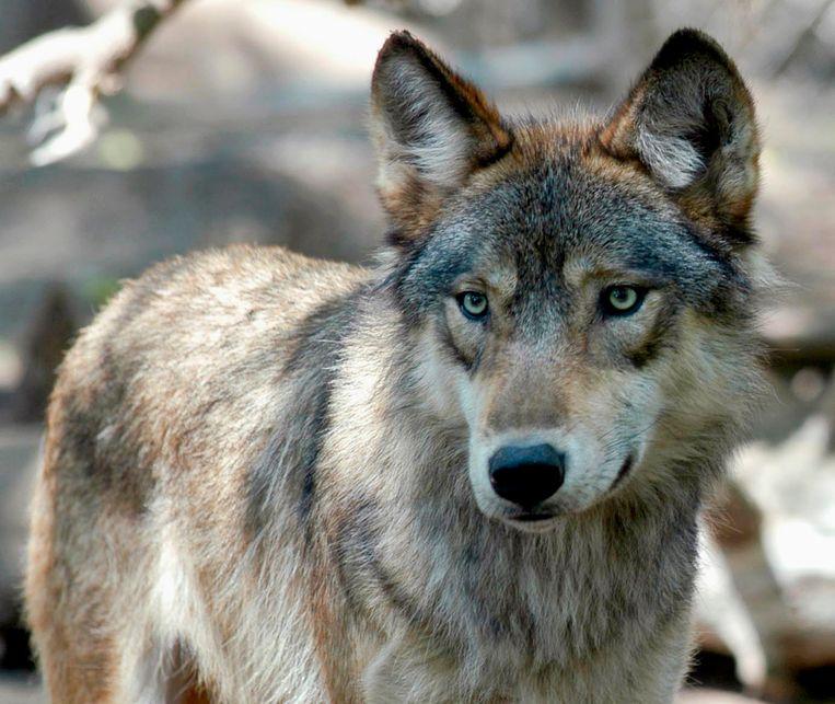 Een grijze wolf. Beeld AP