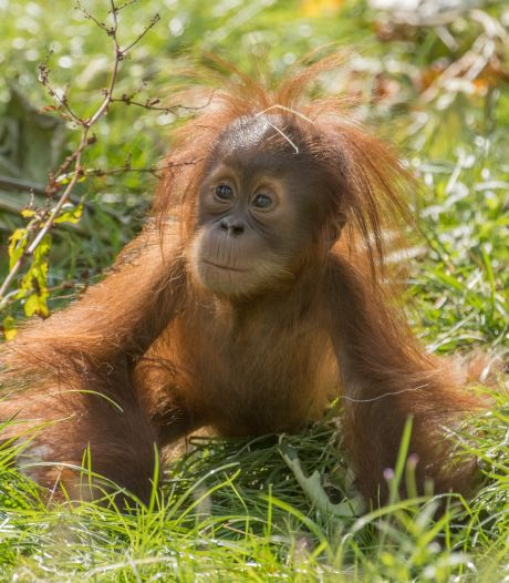 Pairi Daiza en deuil: un bébé orang-outang est décédé