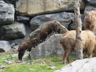 Superschattig: twee bedreigde 'gouden takins' geboren in Pairi Daiza