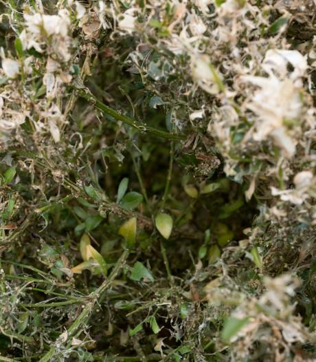 Westervoort : 'Gesnoeide buxus is restafval en hoort niet in gft-container'