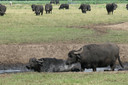 Er lopen nu al een stuk of 160 waterbuffels rond op de Nergena in Boxtel.
