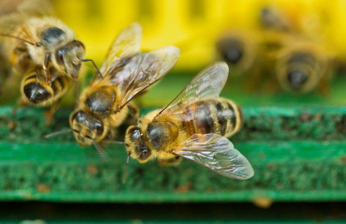 Geen goede fruitoogst zonder bestuiving door bijen.