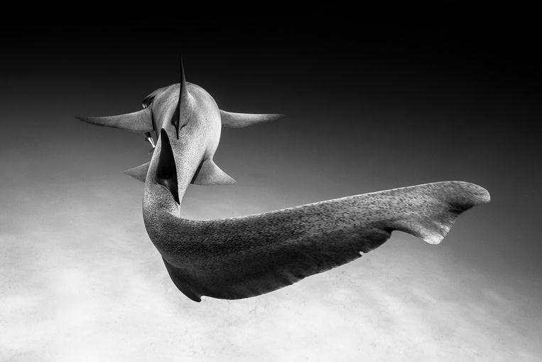 Een verpleegsterhaai zwemt voor de kust van Bimini bij de Bahamas.  Beeld Christian Vizl