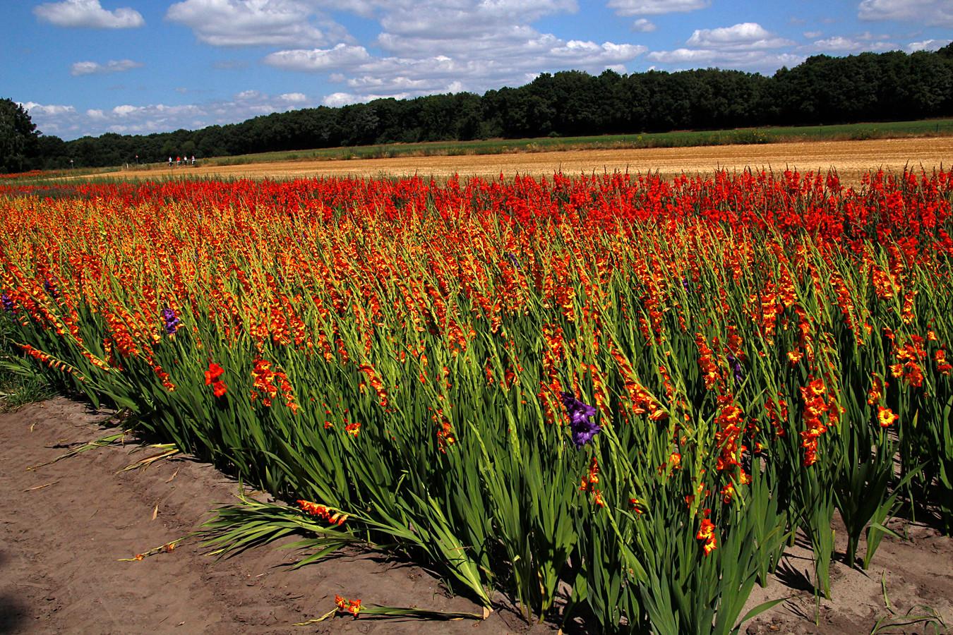 Een veld vol gladiolen. Foto ter illustratie. Deze foto is niet in de gemeente Landerd gemaakt.
