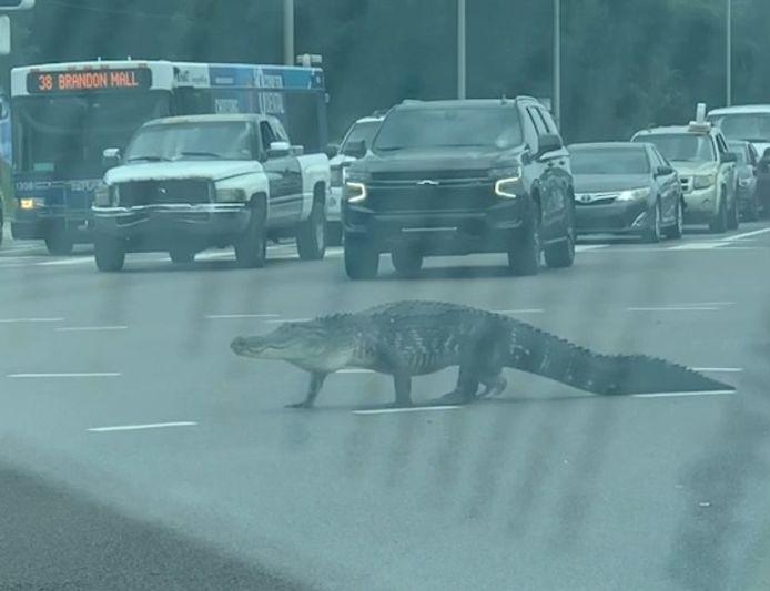 Le 25 avril, Ruchama Lubin-Desir, 36 ans, a filmé le moment où un énorme alligator a traversé une rue encombrée de voitures, à Tampa, en Floride.