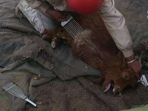 H&M renonce au cachemire après cette effroyable vidéo de chèvres maltraitées