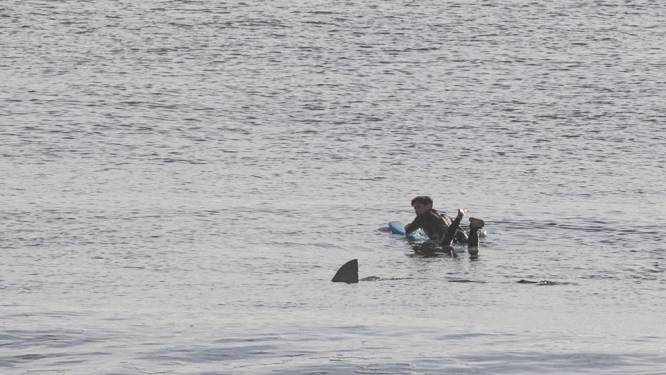 Witte haai zwemt angstaanjagend dicht bij surfer