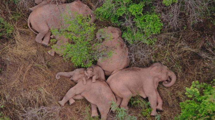 Beelden van de kudde olifanten op hun grote tocht, zoals van dit vertederend dutje onderweg, gaan de wereld rond.