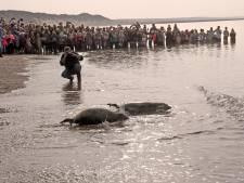 Opvang 'platgemaild' over kijken bij vrijlaten zeehonden: 'Iedereen wil erbij zijn'