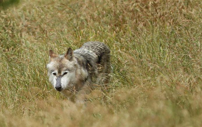 Wolf. Afbeelding ter illustratie.