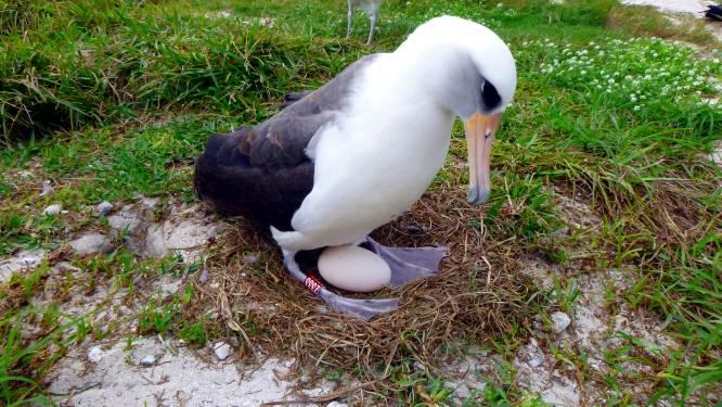 Oudste wilde vogel ter wereld krijgt kuiken op 70-jarige leeftijd