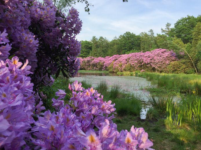 Zo zien de rododendrons in het Zandenbos in Nunspeet eruit als ze in het voorjaar in bloei staan.
