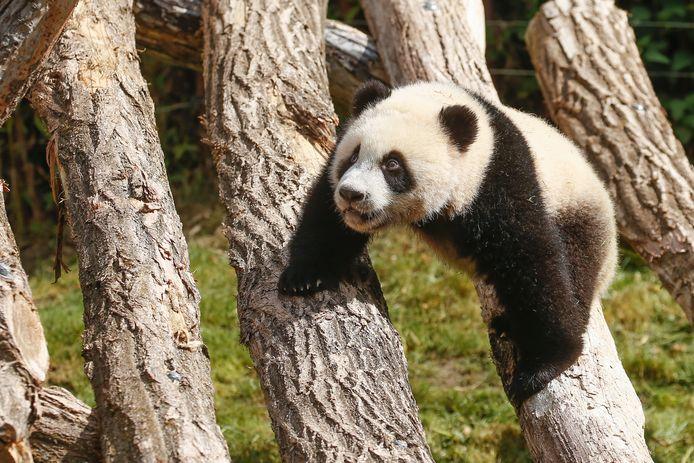 Een panda in Pairi Daiza.