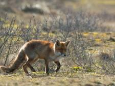 De vos komt eraan, maar met hoeveel zijn ze nu?