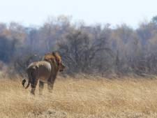 Leeuw in park Cecil doodt gids