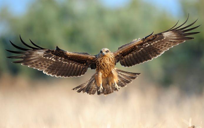 Zwarte Wouw (Milvus migrans), foto ter illustratie.