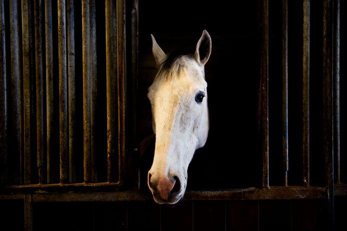 Archieffoto. Drie paarden, waartussen een schimmel, zouden door hun eigenaar uit Eersel mishandeld zijn. De rechter besliste anders.