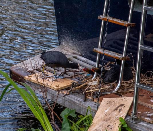 Ad van Geel op zijn motorjacht Wies in de Piushaven kan niet uitvaren omdat een koppel meerkoeten hun nest hebben gebouwd op zijn boot.