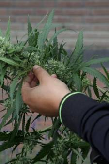 Politie bezorgt zeven kilo hennep bij Helmonder maar die noemt zijn spul 'medicinaal, niet illegaal'
