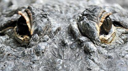 Gegrepen door alligator: honden uitlaten wordt vrouw in Florida fataal