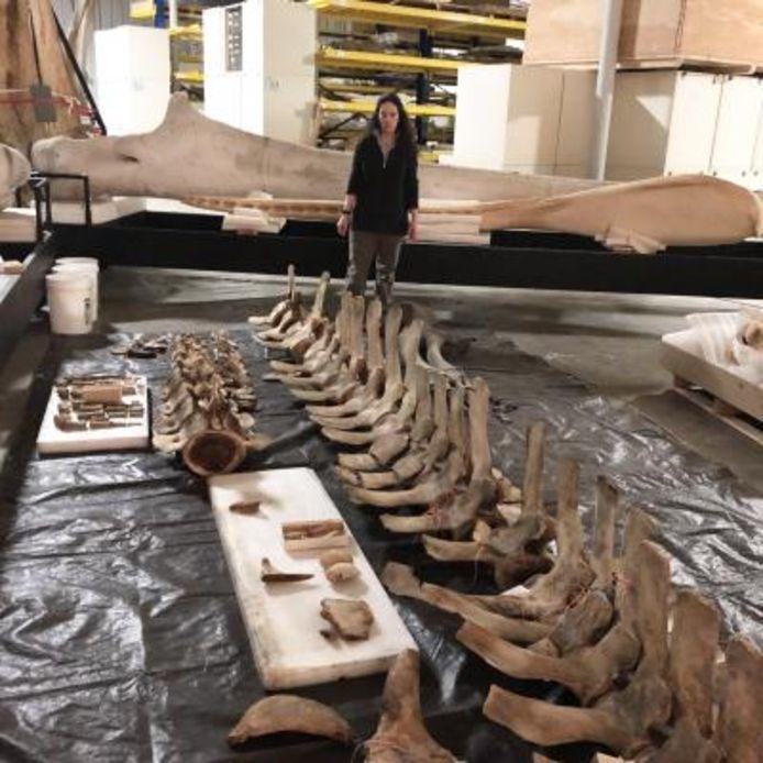 Dr. Patricia Rosel onderzoekt het skelet de Rice's walvis.