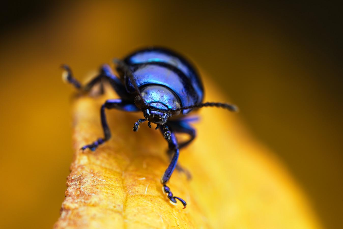 Een blauw muntgoudhaantje op een geel herfstblad. Hoewel ze meestal te zien zijn van mei tot september, kun je ze met een beetje mazzel ook in de winter spotten.