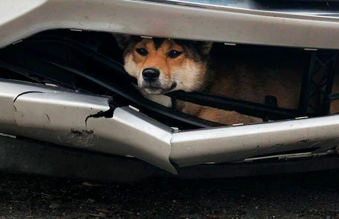 De hond in de bumper